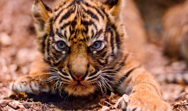 тигр, small, злая, морда, подкрадухах, тигры,