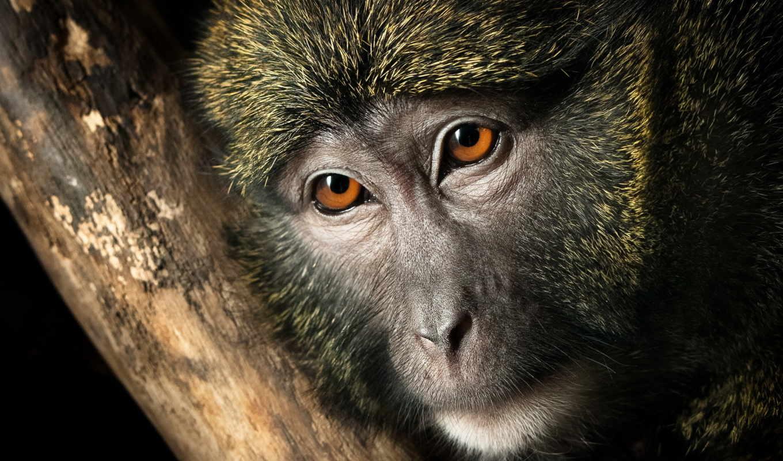 monkeys, обезьяна, нос, animals, noses, adult, pin, можно,