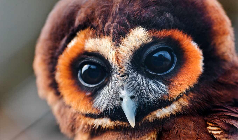 сова, national, глаз, geographic, sweetheart, see, фэ, animal, природа, назад