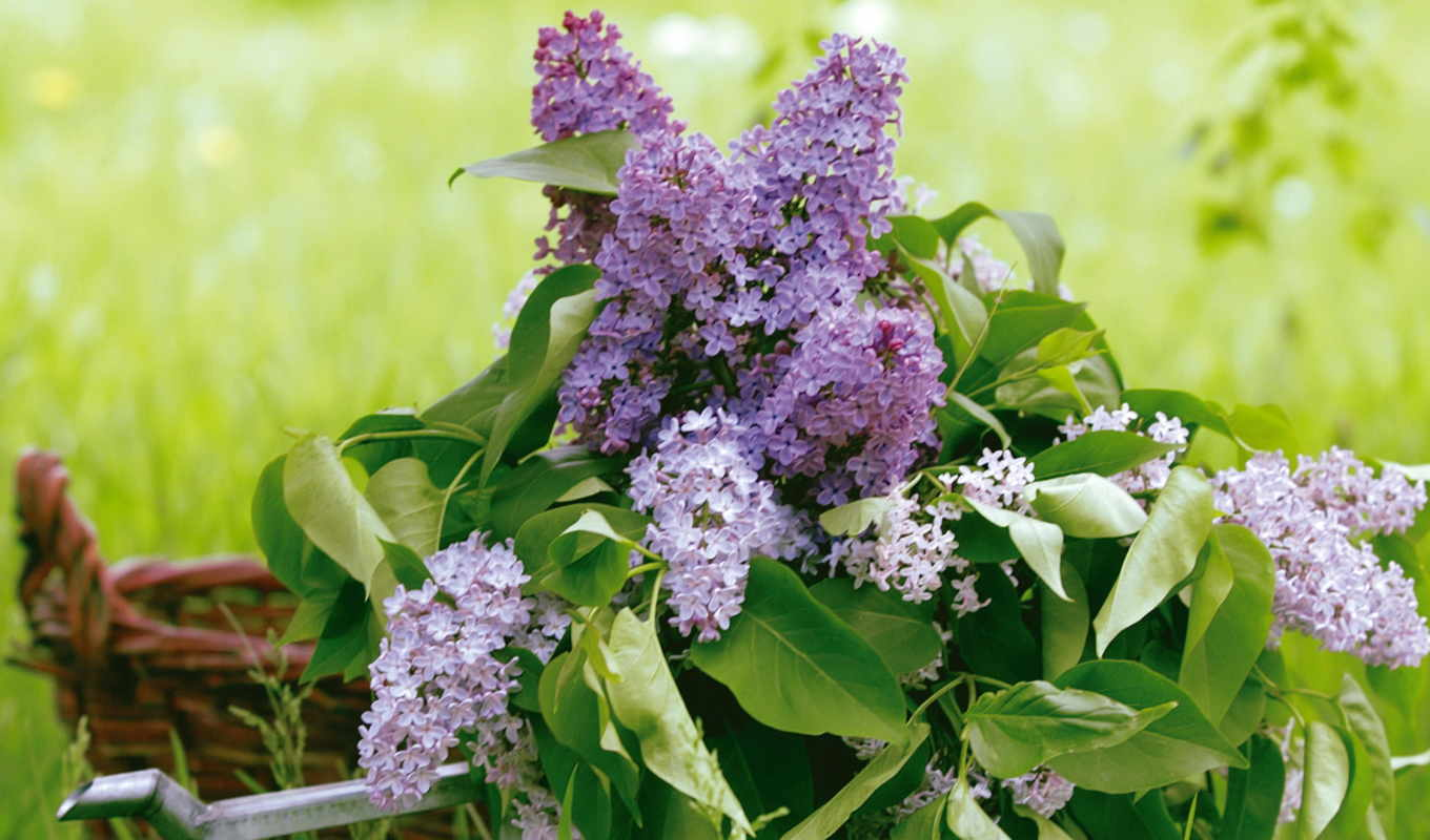 wallpaper, flowers, lavender, cut, flower, hydrangeas, desktop, wallpapers, цветы, widescreen, to, сирень, букет, весна, and, бе, september, background,