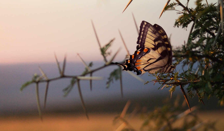 бабочка, ветки, ветке,, бабочки,