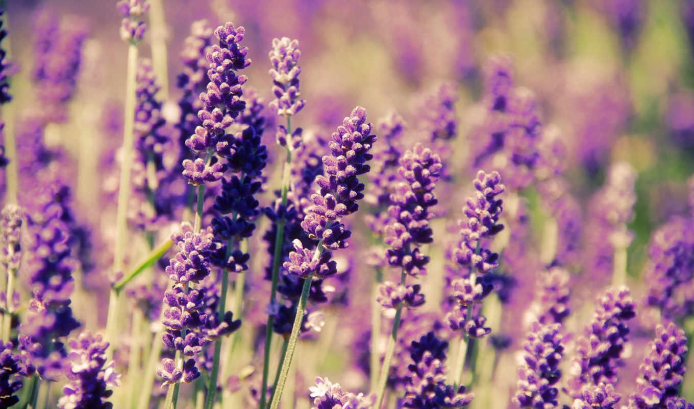 lavender, поле, цветы, прованс,