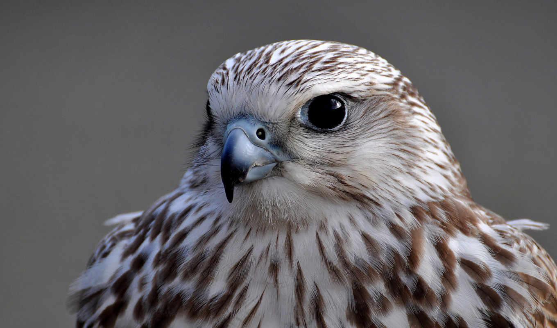 super, mix, взгляд, птица, серый, сокол, портрет, soft, птицы,