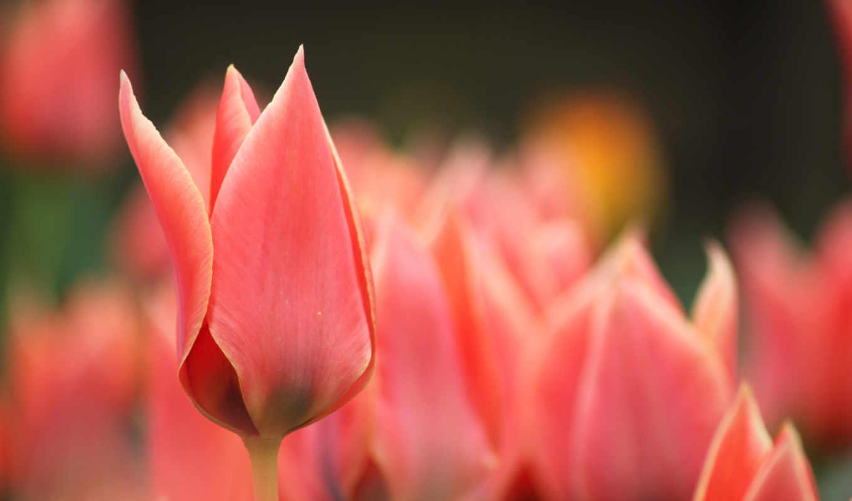 тюльпаны, розовые, цветы, красные, бутоны, весна, макро,