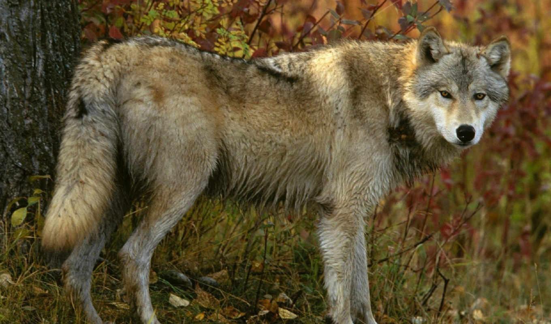 волк, лес, осень, смотреть, серый,