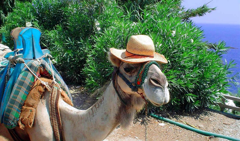 camel, шляпе, юмор, white, lion, июл, кусты, fawn,