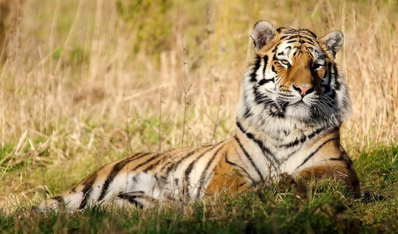 тигр, отдых, трава, морда, картинка, картинку, кнопкой, мыши,