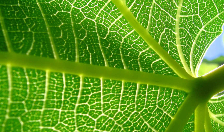 лист, листа, зеленый, сторона, внутренняя, wallpapers, hd, красиво, близко, прожилки, заставки, растение, картинка, одним,