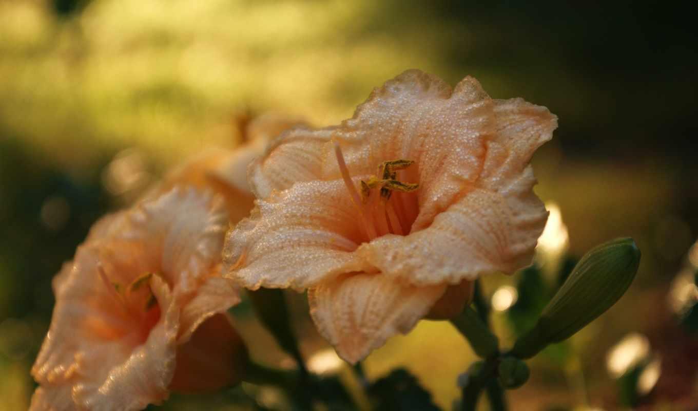 вода, капли, макро, природа, свет, цветы, лилия, роса, оранжевая,