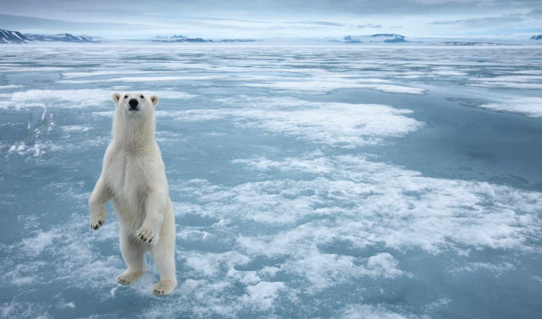 медведь, white, снег, животные,