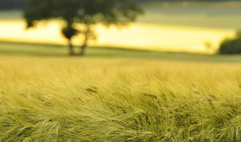 пшеница, поле, поля, колосья, природа, колоски, макро,