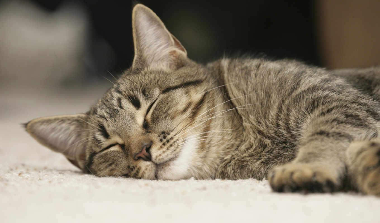 кот, серый, sleeping, широкоформатные,