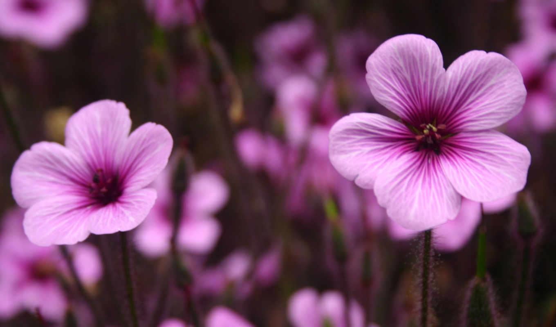 purple, flowers, цветы, фон, desktop, free,