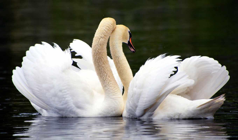 birds, water, фон, пруд, картинка, love, озеро, dark,