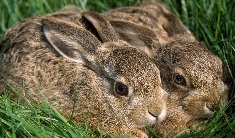 два, кролика, трава, rabbits, кроликов, je, зайцы, животные, picture, без, картинку, click, download, подсобное, траваобоев, кроликиобоев, еще, формата, ваше, хозяйство, разрешения, rabbit,