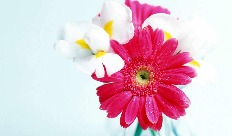 цветы, devushki, любимой, цветов, герберы, капли,