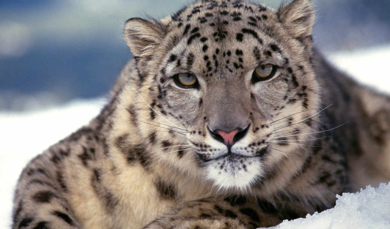 snow, , leopard, you, animals,