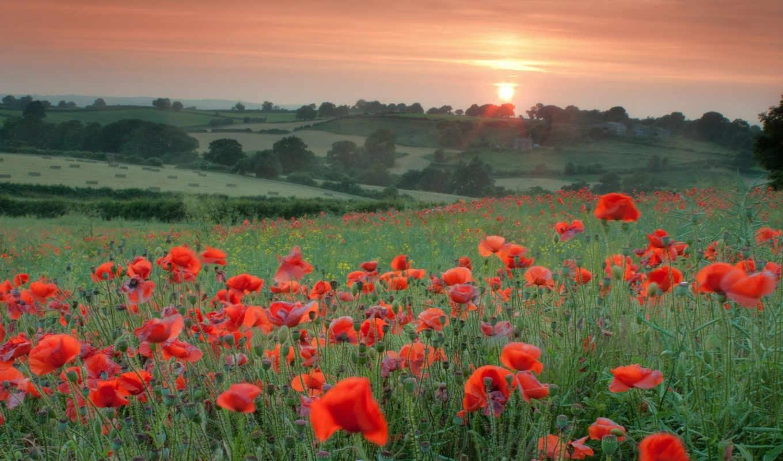 цветы, поле, маки, природа, красные, закат, flowers,