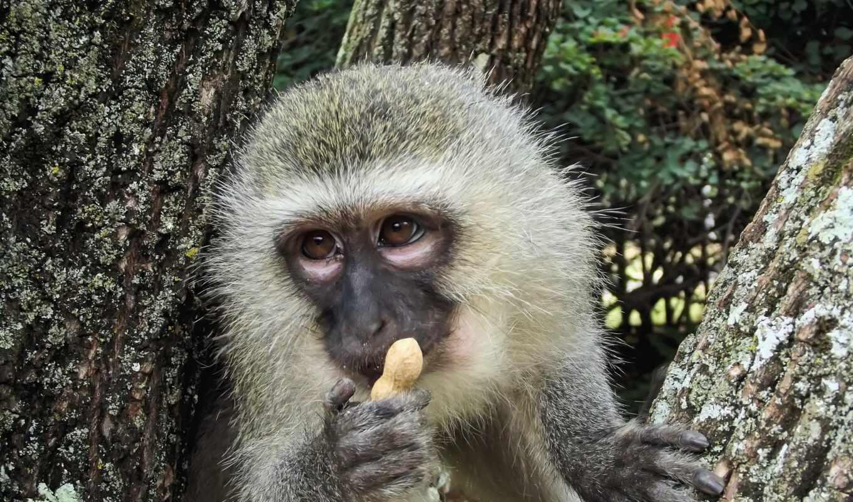 обезьяна, ape, barbary, павиан, mono, und, kalender, weltbild, animal