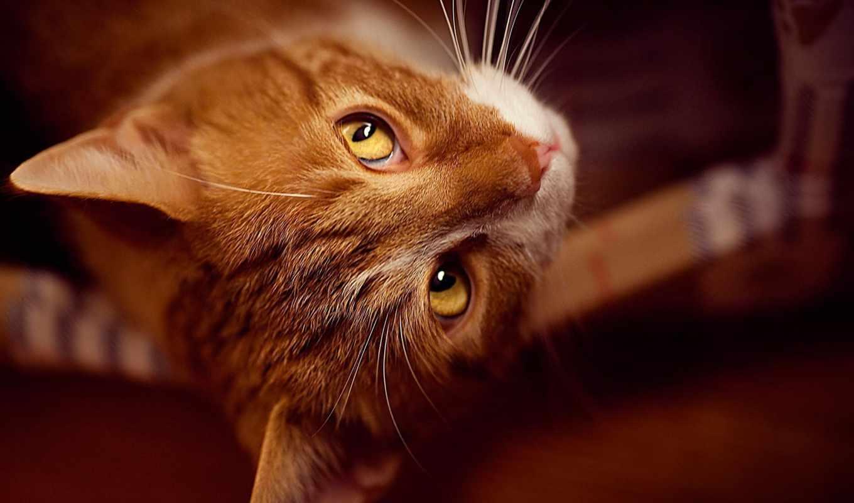 рыжие, коты, кот, обои, рыжий, кошки, ку, морда, q