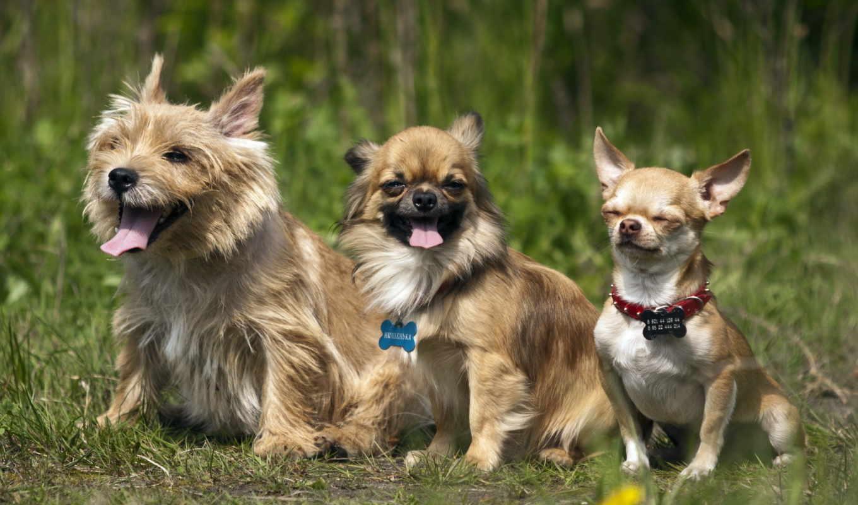 чихуахуа, facebook, собаки, frases, para, зооклубе, породы, собак, horosho, друзья,