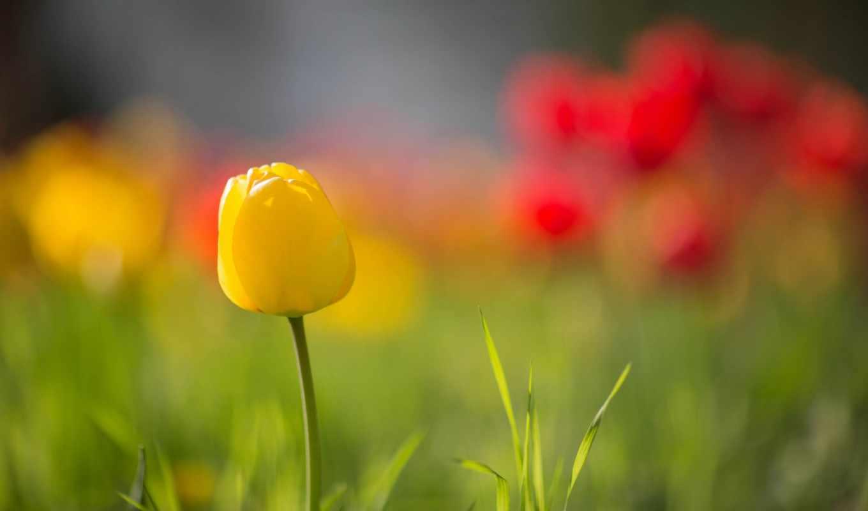 yellow, тюльпан, изображение, next, random, you, цветочная, resolution,