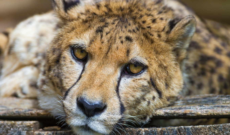 гепард, взгляд, хищник, морда,