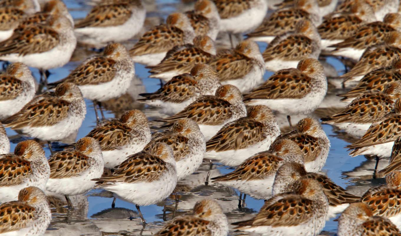 birds, mobile, птица, песок, овцы, animals, high, аляска,