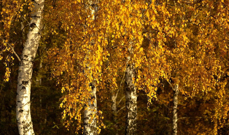 osen, березы, priroda, деревя, les,
