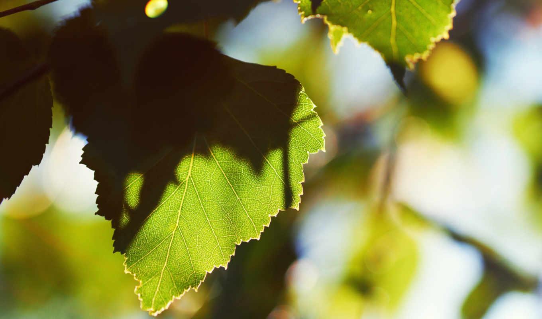 лист, утро, листья, листки, листва, miscellaneous, зелёный, деревья, раннее, дерево,