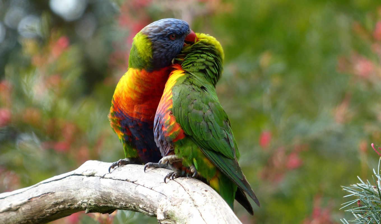 попугаи, pair, птицы, птица, два, картинка,