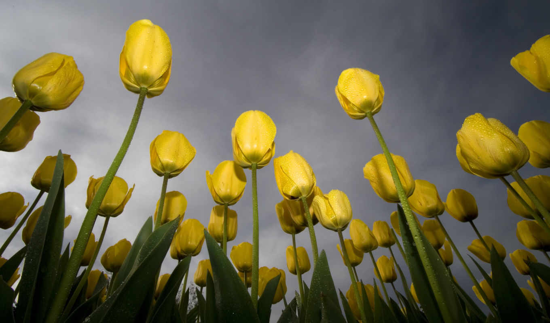 тюльпаны, wallpapers, tulips, wallpaper, flowers, желтые, hd, желтый, небо, зеленый, yellow, роса, free, обоев, download, цветы,
