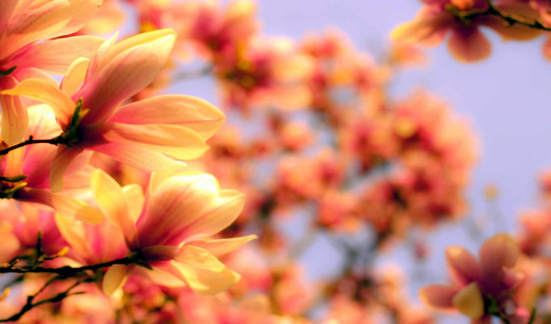cvety, лепестки, цветение, ярко, магнолия, марта, яркие, ветки, nevseoboi, веточки, красивые, kartinka, качественные,