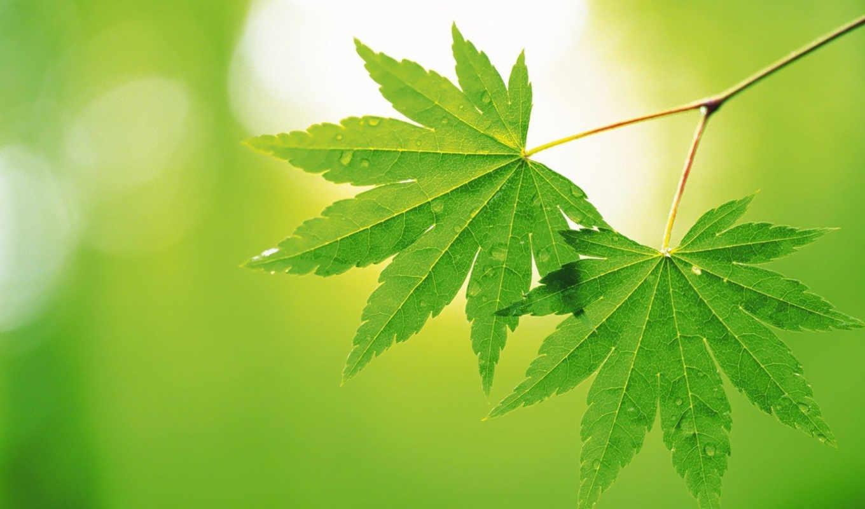 листья, листь, makro, дек, priroda, персики,
