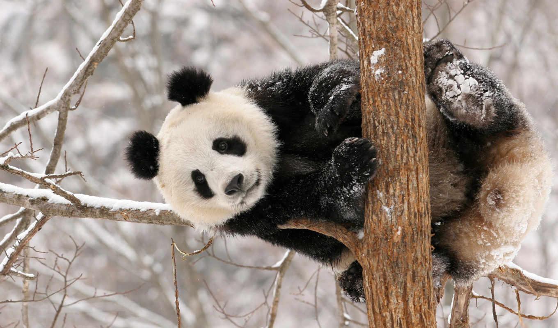 панда, снег, медведь, winter,