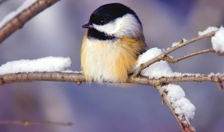 снег, winter, птичка, branch, titmouse, птица, tit, sit, свет, серый