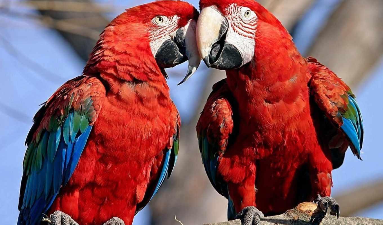 попугаи, птицы, просмотреть, ветка,