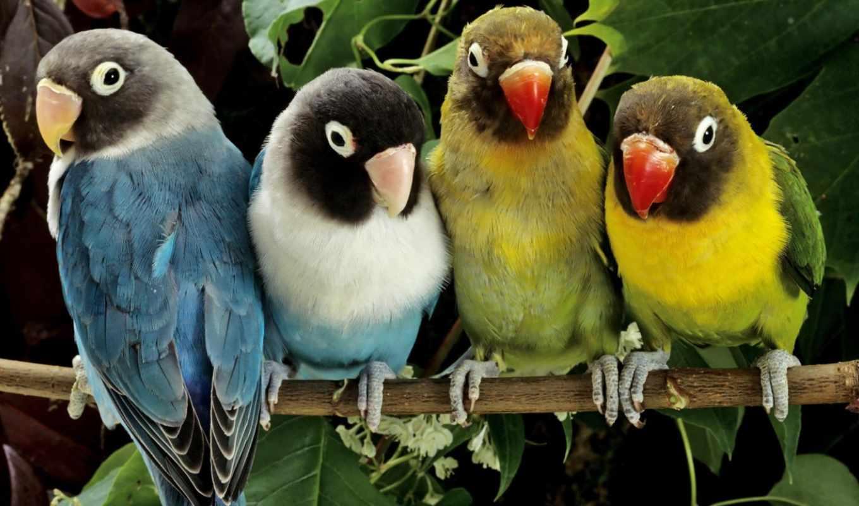 попугаи, обои, животные, птицы, фото, обоев, найде