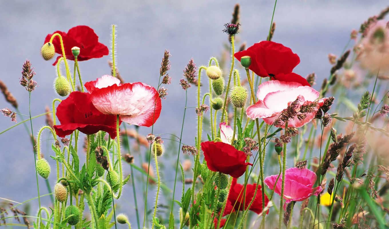 маки, цветы, трава, лето, flowers, poppy, wild, meadows, widescreen,