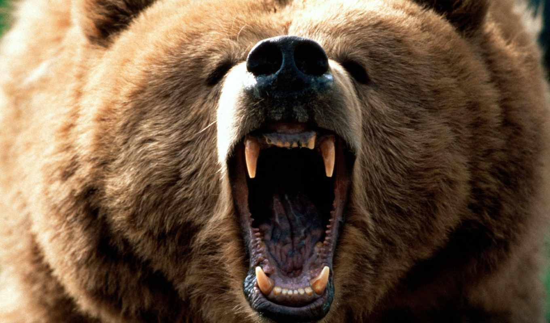 медведя, zhivotnye, медведь, зубы, медведи,