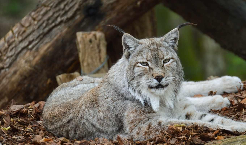 морда, хищник, кот, дикая, рысь, лежит, уши, отдых, июл, zoo,