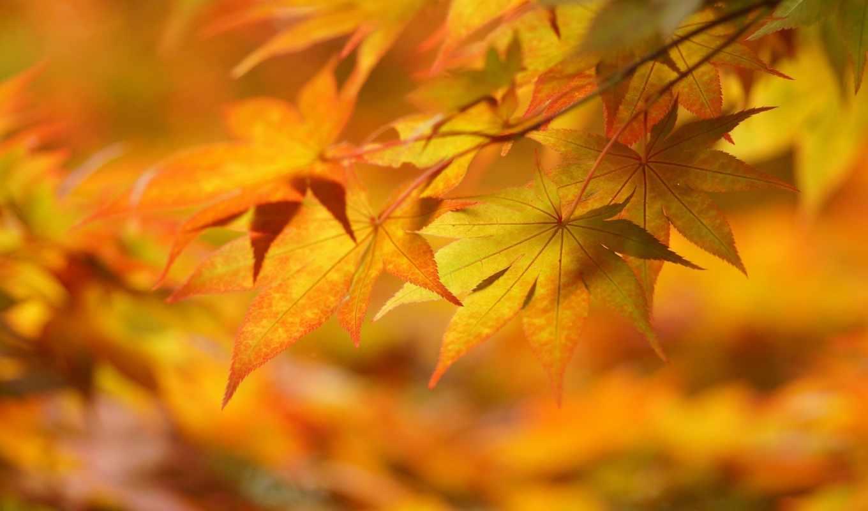 макро, осень, желтые, листья, настроение, картинка,