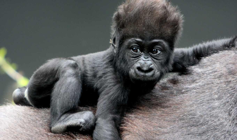 обезьяны, прикольные, поздравления, смешные, год, zhivotnye, яndex, новым, годом, новогодние, обезьян,