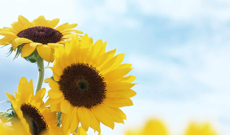 цветы, лето, подсолнухи, желтые, размытость, картинка,