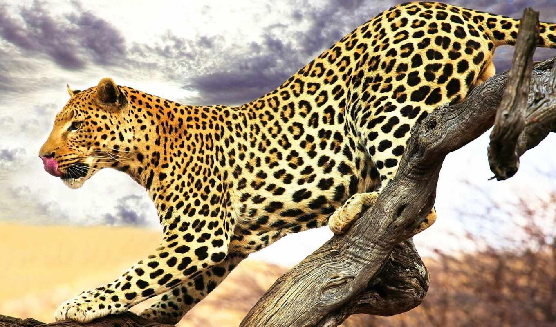 леопард, фотообои, park, морда, coupe, язык,, spotted,