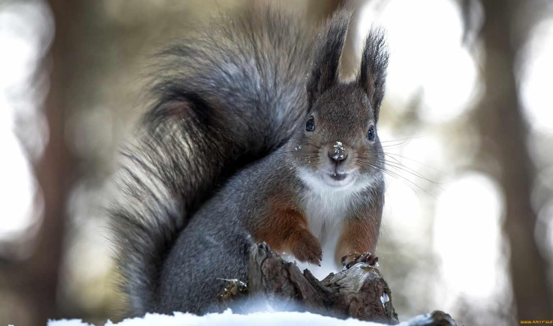 белки, снег, белки, zhivotnye, снегу, грызуны, card, winter, яndex,