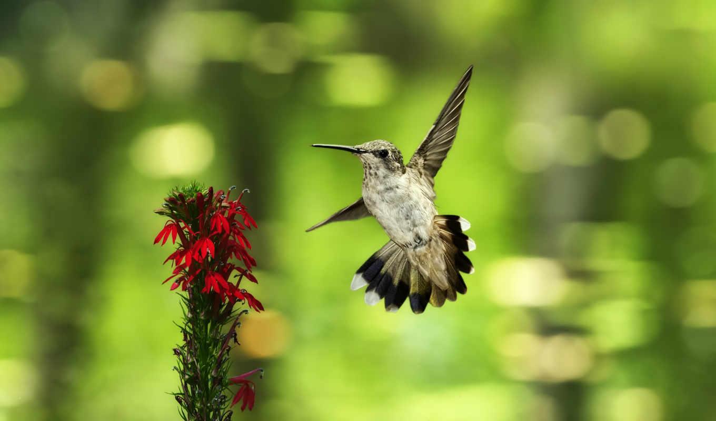 боке, колибри, птица, цветы, полет,