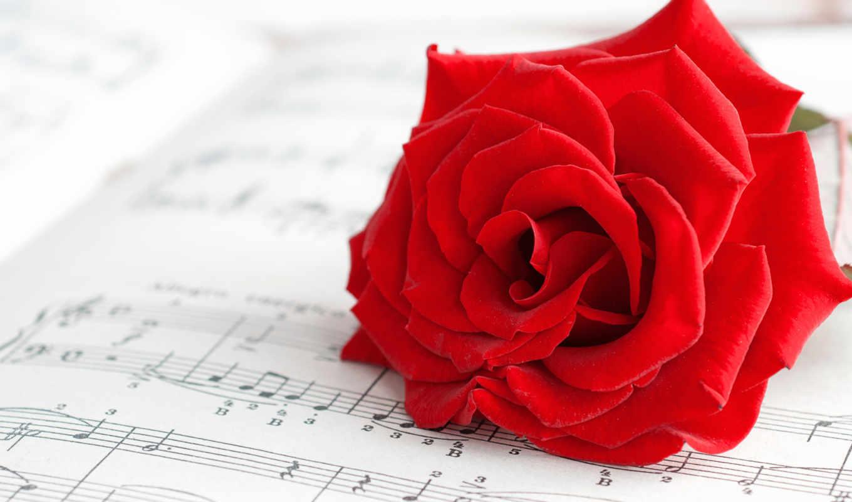 roza, cvety, розы, алая, цветочек, красная, красный,