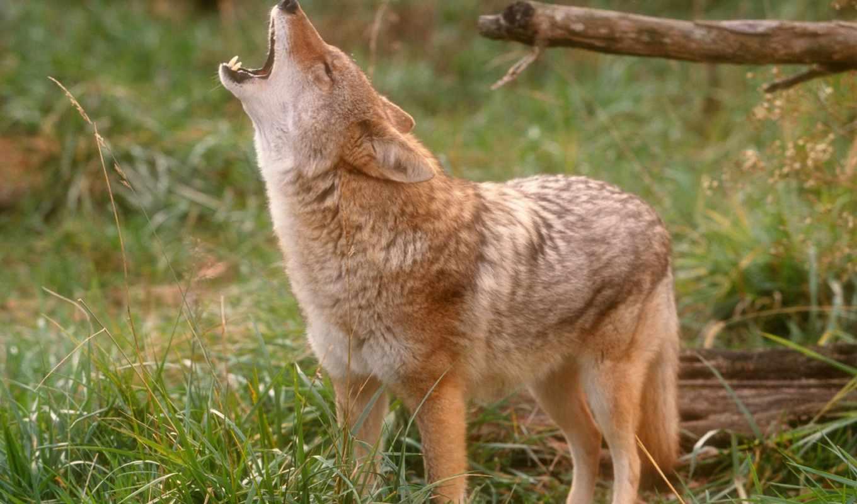 воет, волк, собаки, собак, луну, кошек, корм, собака, воют,