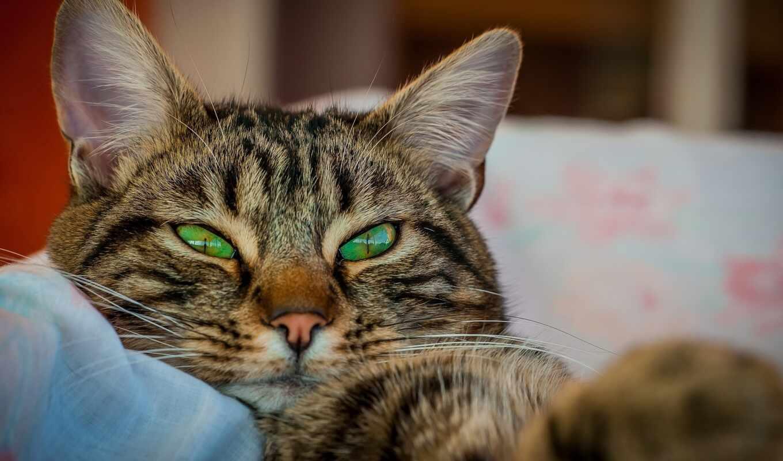 кот, animal, пожаловаться, добавить, бакенбарды, морда, глаз, зелёный, котенок, серьги
